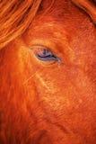 Schönes rotes Pferd des Auges im Winter draußen Stockfotos