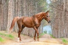 Schönes rotes Pferdearabische Zucht, die auf die Straße im Wald geht Stockfoto