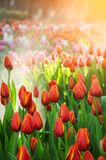 Schönes rotes Tulpenfeld mit Zeit des Sonnenlichts im Frühjahr Stockfotografie