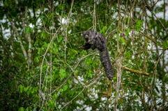 Schönes saki Affe Pithecia monachus, sitzend auf einer Niederlassung innerhalb des Amazonas-Regenwaldes in Nationalpark Cuyabeno Stockfotos