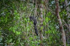 Schönes saki Affe Pithecia monachus, sitzend auf einer Niederlassung innerhalb des Amazonas-Regenwaldes in Nationalpark Cuyabeno Stockbild