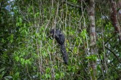 Schönes saki Affe Pithecia monachus, sitzend auf einer Niederlassung innerhalb des Amazonas-Regenwaldes in Nationalpark Cuyabeno Lizenzfreie Stockbilder