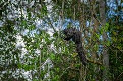 Schönes saki Affe Pithecia monachus, sitzend auf einer Niederlassung innerhalb des Amazonas-Regenwaldes in Nationalpark Cuyabeno Stockfoto