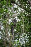 Schönes saki Affe Pithecia monachus, sitzend auf einer Niederlassung innerhalb des Amazonas-Regenwaldes in Nationalpark Cuyabeno Lizenzfreie Stockfotos
