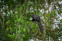 Schönes saki Affe Pithecia monachus, sitzend auf einer Niederlassung innerhalb des Amazonas-Regenwaldes in Nationalpark Cuyabeno Lizenzfreies Stockfoto