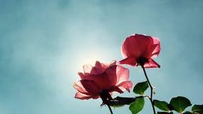 Schönes sauberes Rosa der Rosentagessonne Stockfotografie