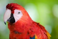 Schönes Scharlachrot Macawabschluß oben Lizenzfreie Stockfotos