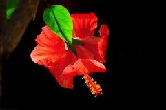 Brilliantt rote Hibiscusblume mit dem lichtdurchlässigen grünen Blatt beleuchtet durch Sonnenlicht Stockfotografie