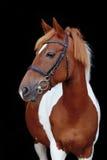 Schönes scheckiges Waliser-Ponyporträt Stockbilder