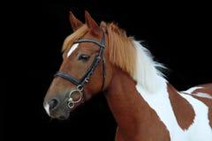 Schönes scheckiges Waliser-Ponyporträt Stockbild