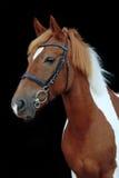 Schönes scheckiges Waliser-Ponyporträt Lizenzfreie Stockbilder