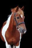 Schönes scheckiges Waliser-Ponyporträt Stockfoto