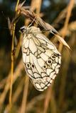 Schönes Schmetterling Melanargia-galathea Lizenzfreies Stockfoto