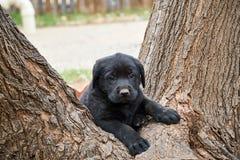 Schönes schwarzes Hündchen Labrador, das in der Gabel des enormen Baums sitzt lizenzfreie stockbilder