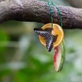 Schönes Schwarzes mit weißem und blauem Schmetterling sitzt auf Hälfte Orange nahe bei der Kruste der Wassermelone Singap Stockfotos