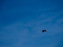 Schönes schwarzes Rabenfliegen im Himmel Lizenzfreies Stockbild