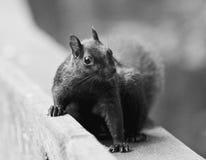 Schönes Schwarzweiss-Foto eines netten lustigen Eichhörnchens Stockbilder