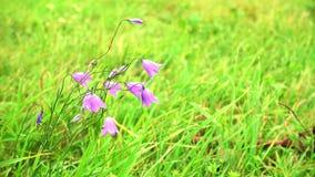 Schönes Sommerfeld mit blauen Blumen, Glockenblumen stock footage
