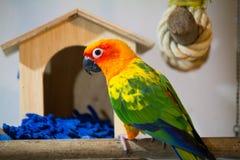 Schönes Sonne conure, das vor Vogelhaus spielt Stockbilder