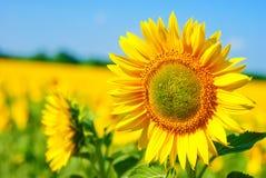 Schönes Sonnenblumefeld stockfoto