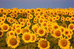 Schönes Sonnenblumefeld Stockfotografie