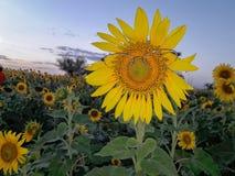 Schönes Sonnenblumefeld Lizenzfreies Stockfoto