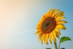 Schönes Sonnenblumen- und Sonnenlicht Stockfoto