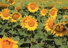 Schönes Sonnenblumenfeld der Nahaufnahme auf natürlichem Licht, Weichzeichnung Lizenzfreie Stockbilder