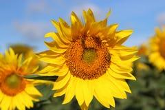 Schönes Sonnenblumenfeld der Nahaufnahme auf natürlichem Licht, Weichzeichnung Stockfotografie