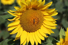 Schönes Sonnenblumenfeld der Nahaufnahme auf natürlichem Licht, Weichzeichnung Lizenzfreies Stockbild
