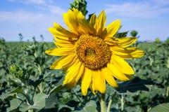 Schönes Sonnenblumenfeld am Nachmittag Lizenzfreie Stockfotografie