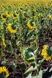 Schönes Sonnenblumenfeld am Nachmittag Stockfoto