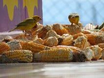 Schönes Speisen auf einem köstlichen Mais stockfotos