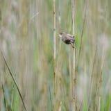 Schönes Teichrohrsängervogel Acrocephalus scirpaceus auf Schilf Lizenzfreie Stockfotos
