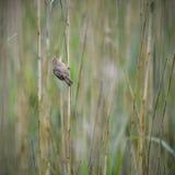 Schönes Teichrohrsängervogel Acrocephalus scirpaceus auf Schilf Lizenzfreies Stockfoto