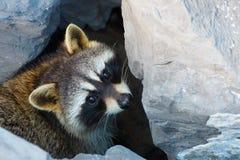 Schönes trauriges Sitzen des wilden Waschbären in den Steinen Lizenzfreie Stockbilder