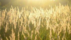 Schönes trockenes Gras des Hintergrundes, das auf Stämme mit glühender Sonne beeinflußt stock footage