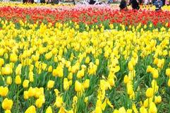Schönes und elegantes Tulpenfeld nach Regen stockfoto