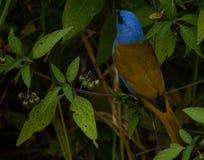 Schönes und natürliches Szenenblau und brauner Vogel an Kleinstadt galipans in Venezuenal stockfoto
