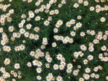 Schönes völlig geblühtes Gänseblümchenblumenfeld Lizenzfreies Stockfoto
