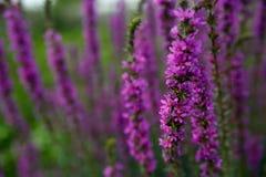 Schönes Veilchen blüht Lavendel auf dem Bauernhof stockfotos