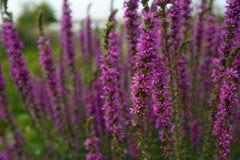 Schönes Veilchen blüht Lavendel auf dem Bauernhof stockfoto