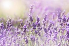 Schönes violettes Lavendelfeld Stockfotografie