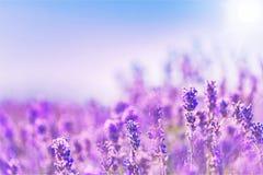Schönes violettes Lavendelfeld Stockbilder