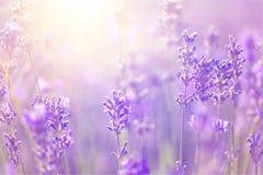 Schönes violettes Lavendelfeld Lizenzfreie Stockfotografie