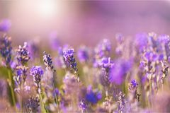 Schönes violettes Lavendelfeld Lizenzfreies Stockfoto