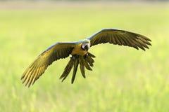 Schönes Vogelfliegen auf unscharfem Hintergrund Lizenzfreie Stockbilder