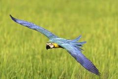 Schönes Vogelfliegen auf unscharfem Hintergrund Lizenzfreie Stockfotografie