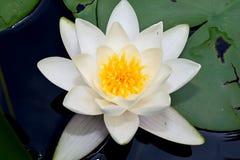 Schönes Wasser verlässt lilly in meinem Gartenteich Stockfotografie