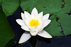 Schönes Wasser verlässt lilly in meinem Gartenteich Lizenzfreie Stockfotos